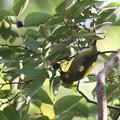 私の野鳥図鑑(蔵出し)・121108木の実を食べるメジロ
