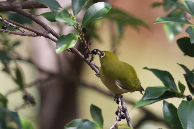 私の野鳥図鑑(蔵出し)・121129木の実を食べるメジロ