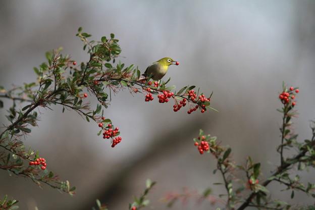 私の野鳥図鑑(蔵出し)・130109気に入っている写真・メジロ