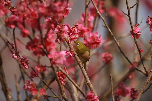 私の野鳥図鑑(蔵出し)・130308赤い梅の蜜を吸うメジロ