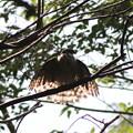 写真: 181009-36水浴び後羽を乾かすツミ♀