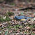 写真: 私の野鳥図鑑(蔵出し)・120226ルリビタキの食事