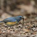 写真: 私の野鳥図鑑(蔵出し)・120228ルリビタキの食事