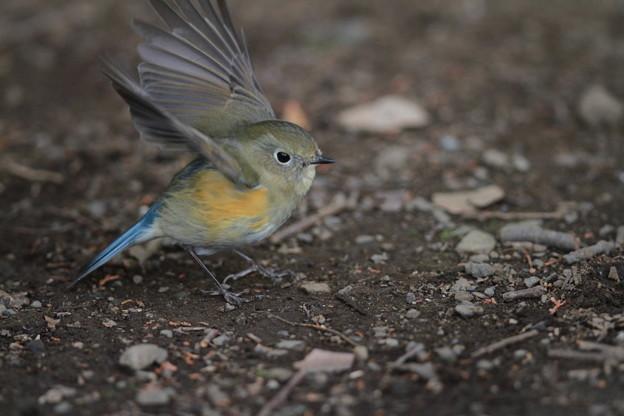 私の野鳥図鑑(蔵出し)・130106ルリビタキ♀