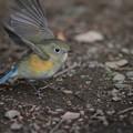 写真: 私の野鳥図鑑(蔵出し)・130106ルリビタキ♀