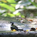 写真: 181020-8シジュウカラの水浴び