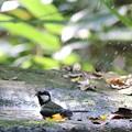 写真: 181020-9シジュウカラの水浴び