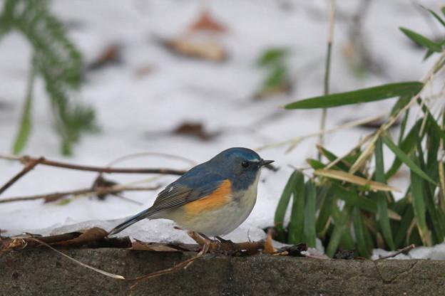 私の野鳥図鑑(蔵出し)・130116雪とルリビタキ