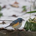 写真: 私の野鳥図鑑(蔵出し)・130116雪とルリビタキ