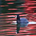 写真: 181021-11赤い池を泳ぐオオバン