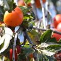 写真: 181111-7柿の熟れ具合を見に来た?メジロ