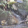 181115-12シロハラ♀の水浴び