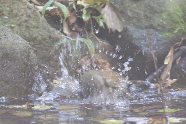 181115-14シロハラ♀の水浴び
