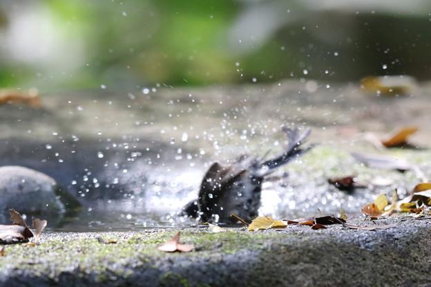 181118-16シジュウカラの水浴び