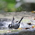 181118-17シジュウカラの水浴び