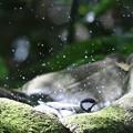 写真: 181130-15シジュウカラの水浴び