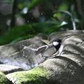 写真: 181130-16シジュウカラの水浴び