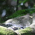 写真: 181130-17シジュウカラの水浴び