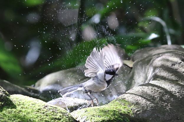 181130-18シジュウカラの水浴び