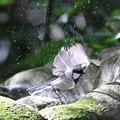写真: 181130-18シジュウカラの水浴び