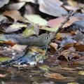 写真: 181201-7ルリビタキ♂若の水浴び