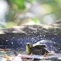 写真: 181201-16メジロの水浴び