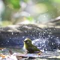 写真: 181201-17メジロの水浴び