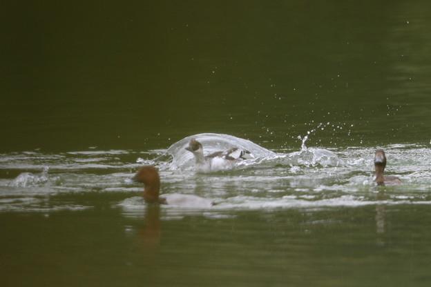 181105-45面白い形の跳ねた水・急げ!・ミコアイサ