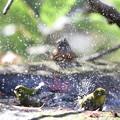 写真: 181218-30メジロの水浴び(手前)とアトリ