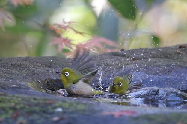 181219-9メジロの水浴び