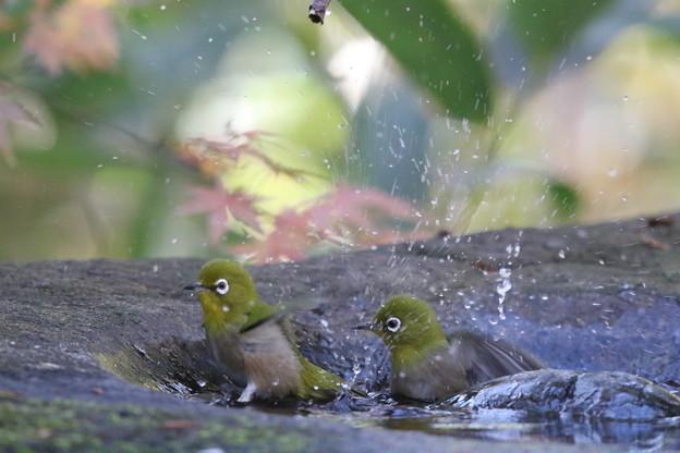 181219-10メジロの水浴び