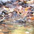 181219-12アトリの水浴び