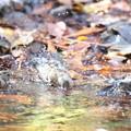 写真: 181219-13アトリの水浴び