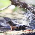 写真: 181219-22アトリの水浴び