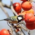 写真: 181220-1柿を食べるシジュウカラ