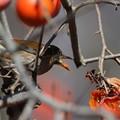 181229-11柿を食べるシロハラ