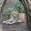 190301-140上野公園界隈散策・上野動物園・インドライオン