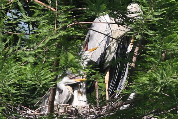 190516-5孵ったのに気づいてから7日目の二羽の雛・アオサギ