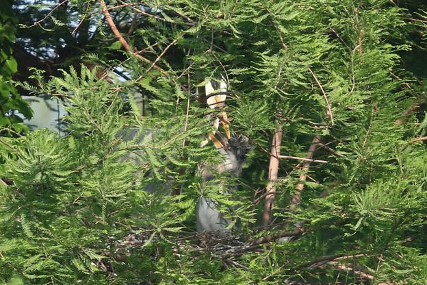 190517-4孵ったのに気づいてから8日目の雛への給餌が終わった親子・アオサギ