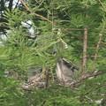 Photos: 190518-2孵ったのに気づいてから9日目の雛に給餌中?・アオサギ