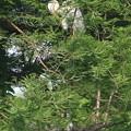Photos: 190518-4孵ったのに気づいてから9日目の雛に給餌が終わると親は巣の上の方へ・アオサギ
