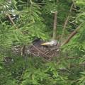 Photos: 190522-1雛が孵ったのに気づいてから13日目・羽繕いをする雛・アオサギ