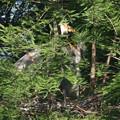 190525-1雛が孵ったのに気づいてから16日目・親(左)と雛・アオサギ
