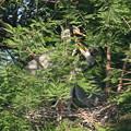 Photos: 190526-2雛が孵ったのに気づいてから17日目・どうなってるの?・アオサギ(2/3)