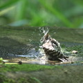 Photos: 190527-17コゲラの水浴び