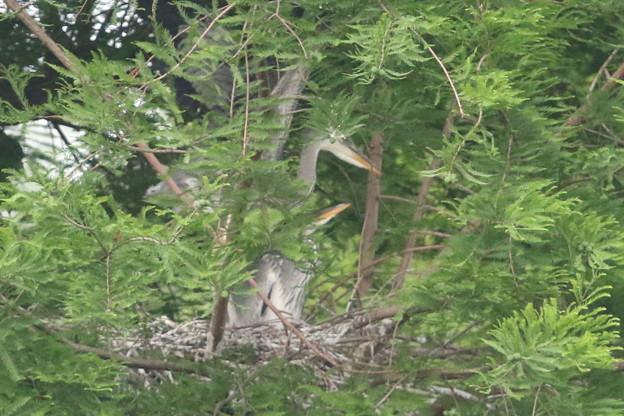 190528-3雛が孵ったのに気づいてから19日目・雛の飛ぶ練習?・アオサギ