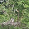 Photos: 190528-3雛が孵ったのに気づいてから19日目・雛の飛ぶ練習?・アオサギ