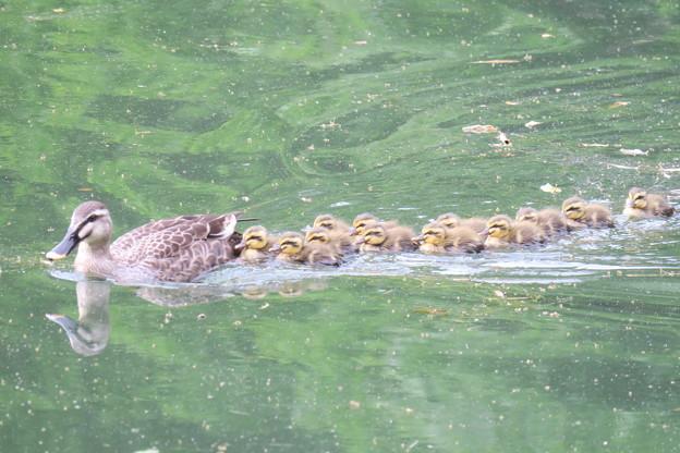 Photos: 190528-4雛が孵ってから2日目・母親と12羽の幼鳥・カルガモ