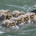 190528-6雛が孵ってから2日目・幼鳥・カルガモ