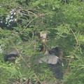 190602-2雛が孵ったのに気づいてから24日目・給餌?・アオサギ